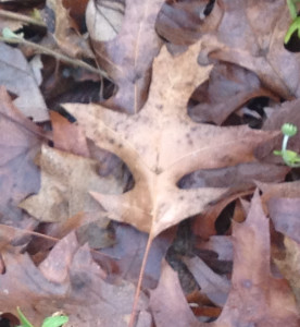 Late fall garden; fallen leaves; 18405 west bed; 12/22/13