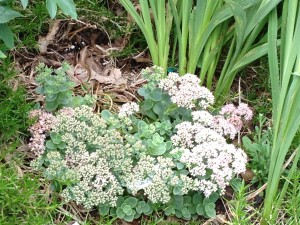 Sedum 'Lime Zinger' in flower