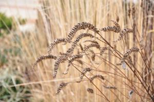 Agastache 'Blue Fortune' seedheads (Sam Bahr-UMD)