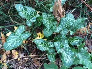 Arum italicum 'Special Leaf'