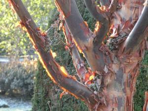 Acer griseum backlit