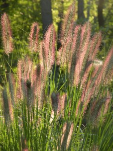 Backlit Pennisetum