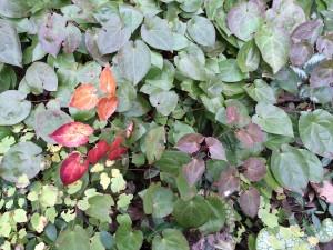 Epimedium sulphureum  foliage color change