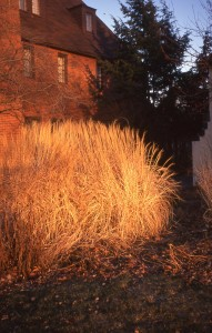 Early morning sun on Miscanthus 'Adagio'