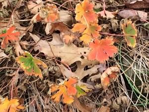 Geranium 'Rozanne' fall color