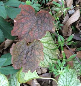 Heuchera 'Color Beauty' color in December