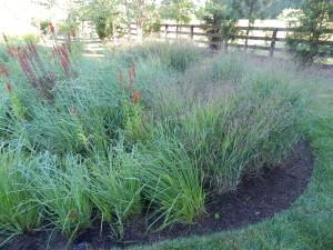 Rain garden; Lobelia cardinalis, Sesleria autumnalis (?), Eragrostis spectabilis;