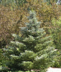 Bi-color conifer Abies koreana 'Horstman's Silberlocke'