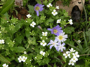Arabis caucasica with Anemone blanda inmy garden in April