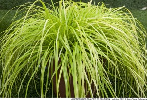 Carex oshimensis 'Everillo' - Thierry Delabroye