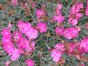 Dianthus gratanopolitanus 'Firewitch'