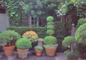 Container grouping of evergreens in different sizes of terracotta pots