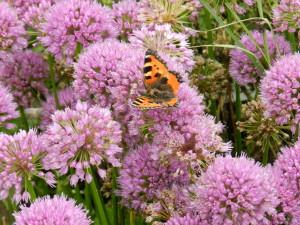 Alllium 'Millenium' with butterfly