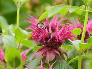 Monarda with bee