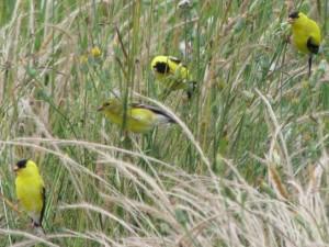 Goldfinch eating grass seeds-lansingwbu.blogspot.com