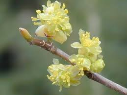 Lindera benzoin flowers-willowaynurseries.com
