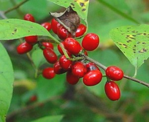 Lindera benzoin fruits-Missouri Plants