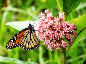 Monarch on Asclepias incarnata-bigblogofgardening.com