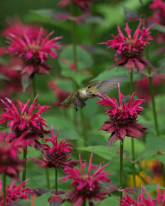 Monarda 'Raspberry Wine' with hummingbird-BudHensley(pbase.com)