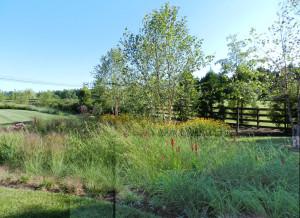Rain garden with Rudbeckia fulgida var.fulgida, Lobelia cardinalis, Sesleria autumnalis, and, Eragrostis elliottii,
