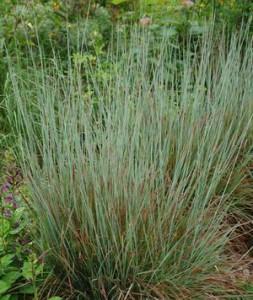 Schizachyrium scoparium 'Standing Ovation'-northcreeknurseries.com