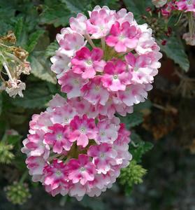 Verbena 'Pink Ballet'-gardensupply.com
