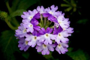 Verbena Tiara Mickey Blue-Lavender-newplantsandflowers.com