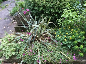 Arabis caucasica 'Compinkie', Yucca 'Bright Edge', Corydalis lutea in my garden in late May