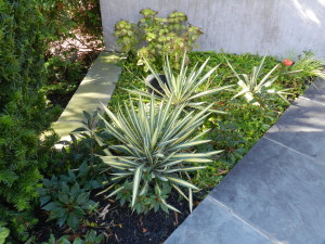 Color echo of Yucca 'Color Guard', Coleus, and Lysimachia nummularia 'Aurea' in Virginia garden in October
