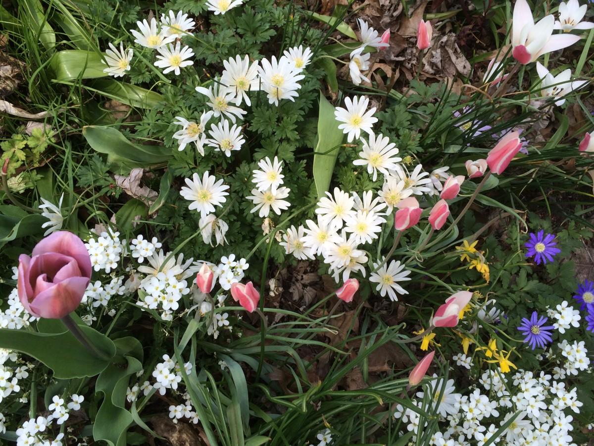 5-3-15-Spring-bulbs-and-Arabis-1