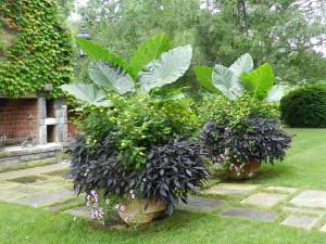 Colocasia gigantea 'Thailand Giant', Lantana, Ipomoea 'Blackie', Petunia