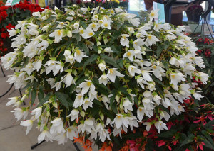 009 4669 Begonia, Beauvilia White