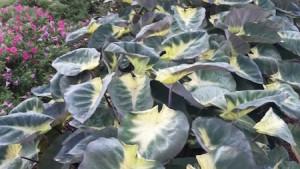 Colocasia 'Tropical Storm'-planthaven.com