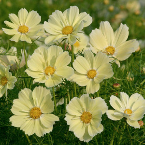 Cosmos 'Xanthos'-suttons.co.uk