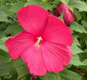 Hibiscus 'Pinot Noir' closeup
