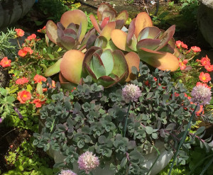 Kalanchoe thyrsiflora (Paddle Plant) , Sedum 'Bertram Anderson', Portulaca ' Yubi Apricot'. The purple flowers are an allium that has seeded in the flagstone in front of the container.