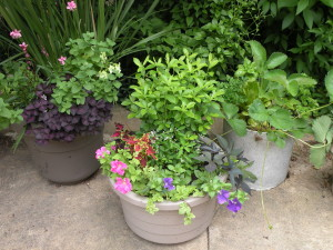 Container combos: Gaura, Oxalis, Nicotiana lime; Petunia pink and purple, Coleus, Euphorbia 'Diamond Frost'; Strawberry, parsley; 18405 back driveway; 6/10/11