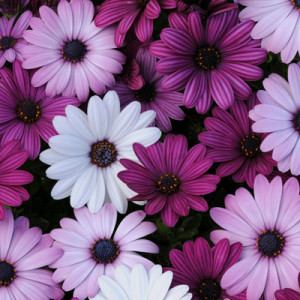 Osteospermum Akila® Mix-harrisseeds.com