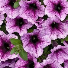 Petunia Supertunia Bordeaux-provenwinners.com