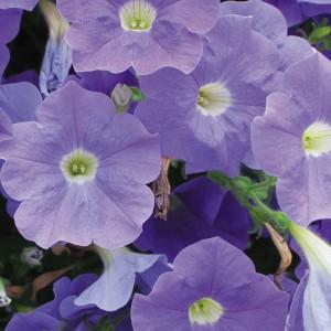Petunia Surfinia 'Sky Blue'-pinterest.com