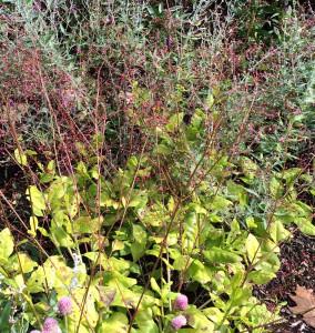 South perennial garden: Cleome tall white, Gomphrena pink,  Perovskia, Talinum 'Limon', Lobelia 'Fan Blue', Lavandula; Levin; 10/17/14