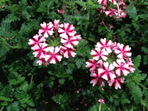 Verbena 'Candy Cane'; OFA; 7/16/13