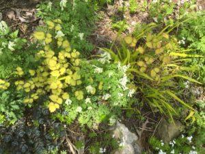 Astilbe 'Amber Moon', Corydalis ochroleuca, Hakonechloa macra 'All Gold'