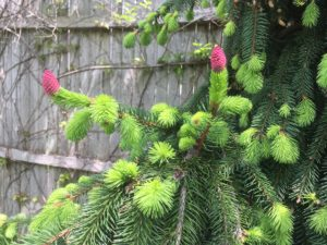 New cones of Picea abies 'Acrocona'