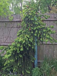 Picea abies 'Acrocona';