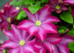 Clematis 'Pink Champagne'-etsy.com