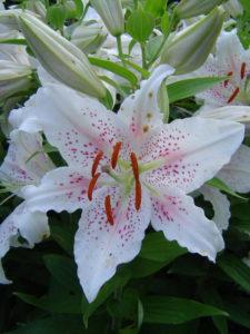 Lilium 'Muscadet'-commons.wikimedia.org