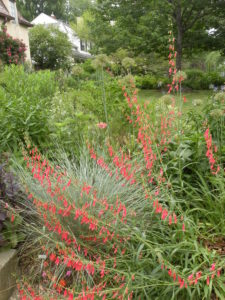 Penstemon barbatus, Hemerocallis foliage, Echinacea foliage, Allium deadheads, Papaver somniferum in mid-June