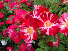 Rosa 'fourth of July'-garden.com