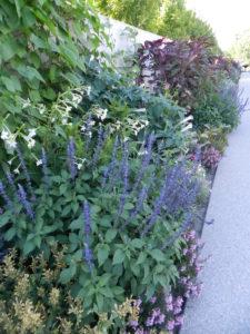 Blue/purple border: Salvia farinacea, Nicotiana sylvestris, Amaranthus 'Oeschberg'